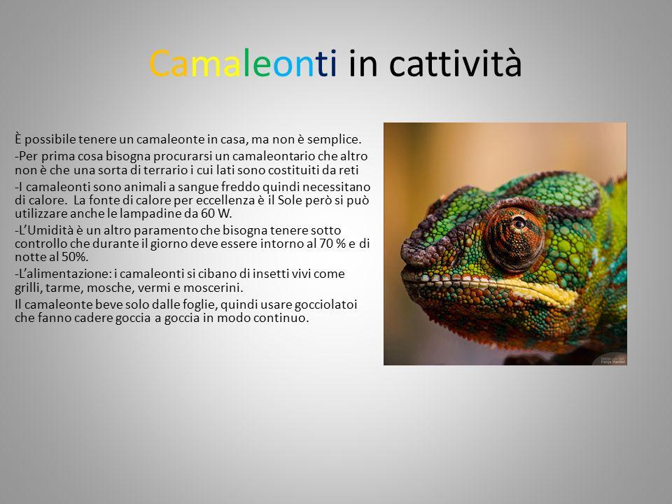 Camaleonti in cattività