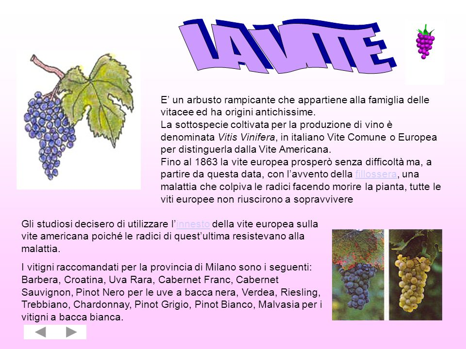LA VITE E' un arbusto rampicante che appartiene alla famiglia delle vitacee ed ha origini antichissime.