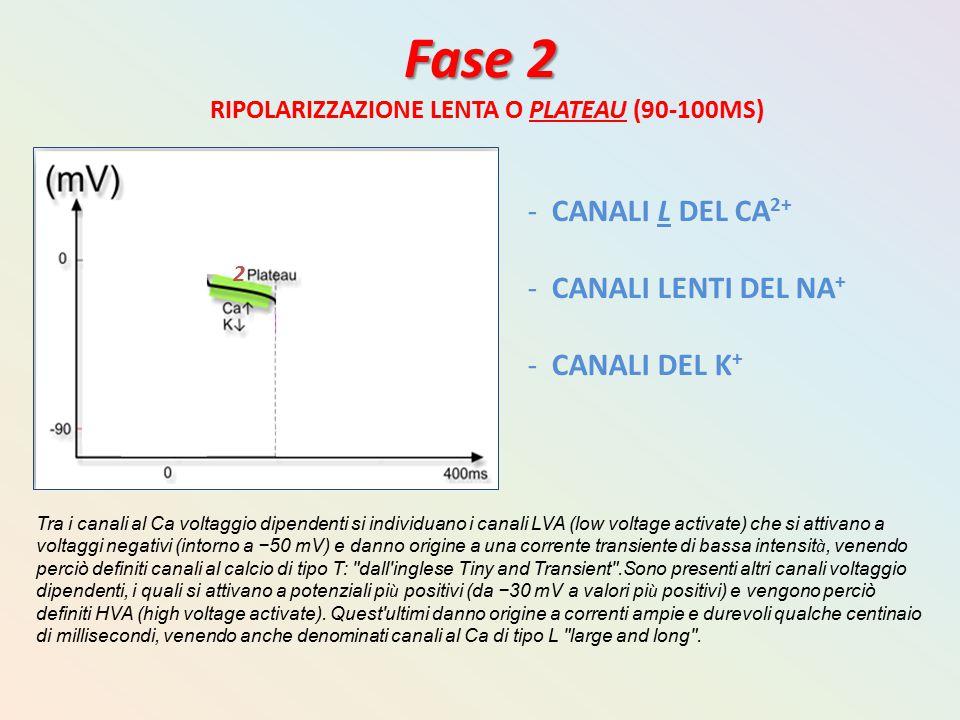 Fase 2 CANALI L DEL CA2+ CANALI LENTI DEL NA+ CANALI DEL K+