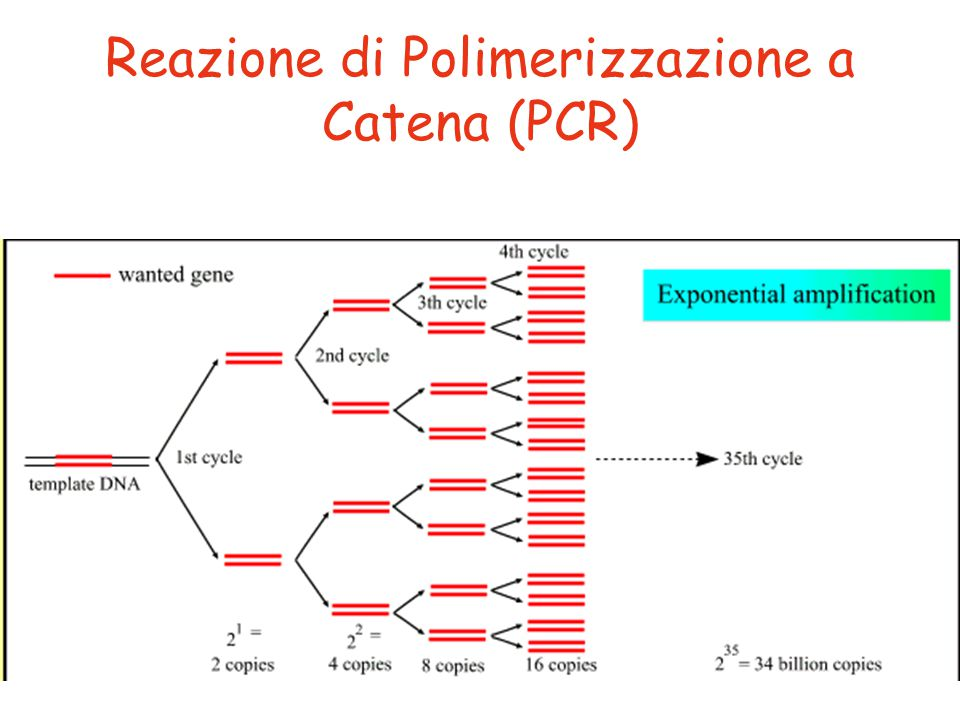 Reazione di Polimerizzazione a Catena (PCR)