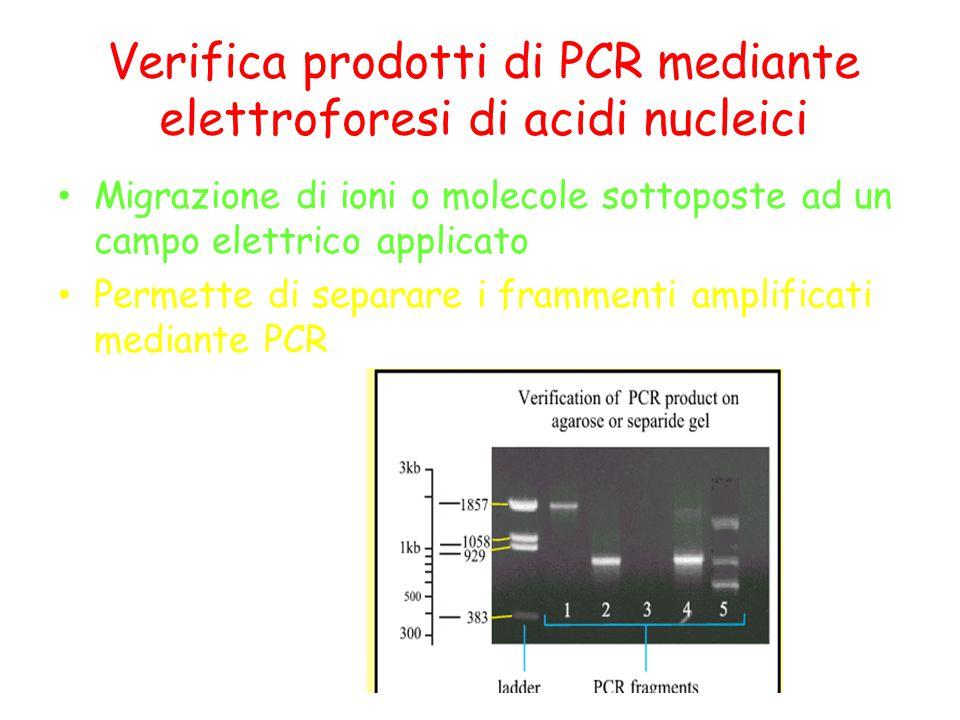Verifica prodotti di PCR mediante elettroforesi di acidi nucleici