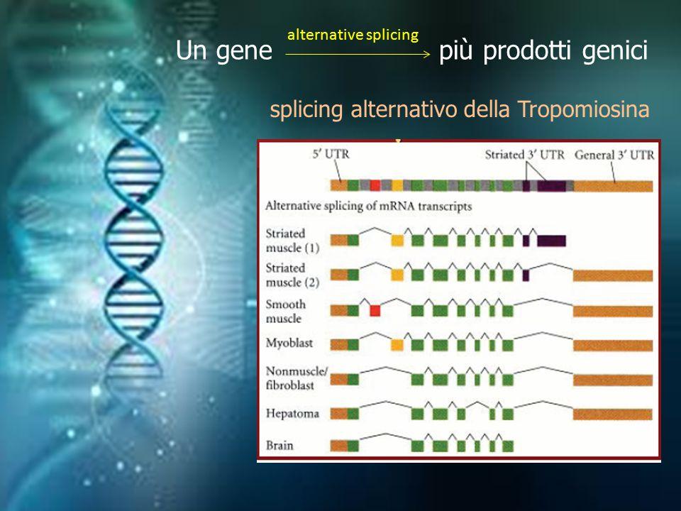 Un gene più prodotti genici