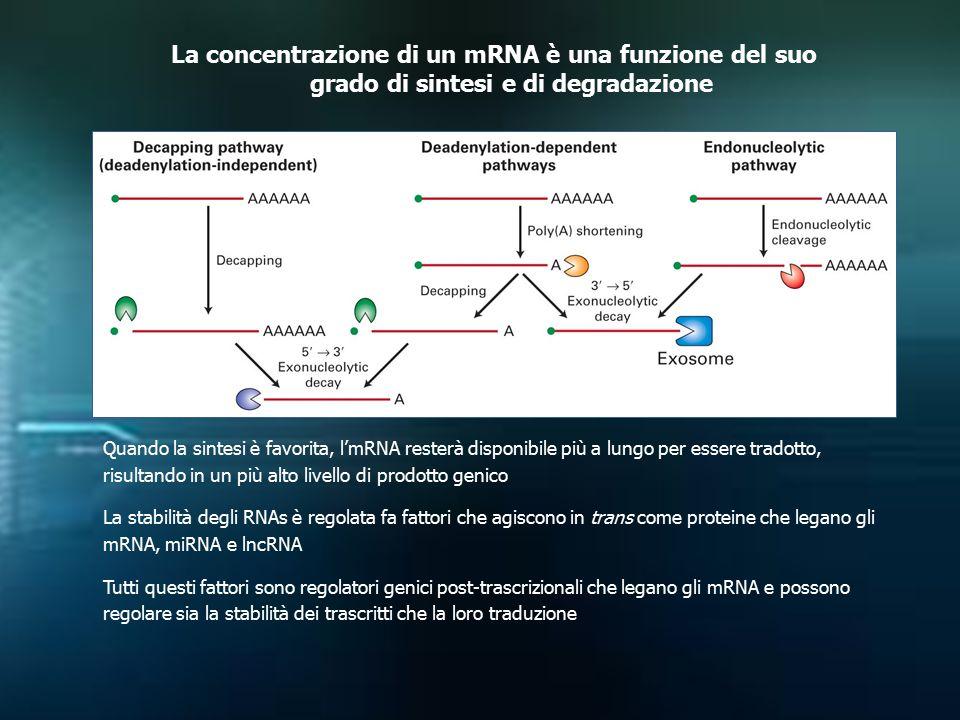 La concentrazione di un mRNA è una funzione del suo grado di sintesi e di degradazione