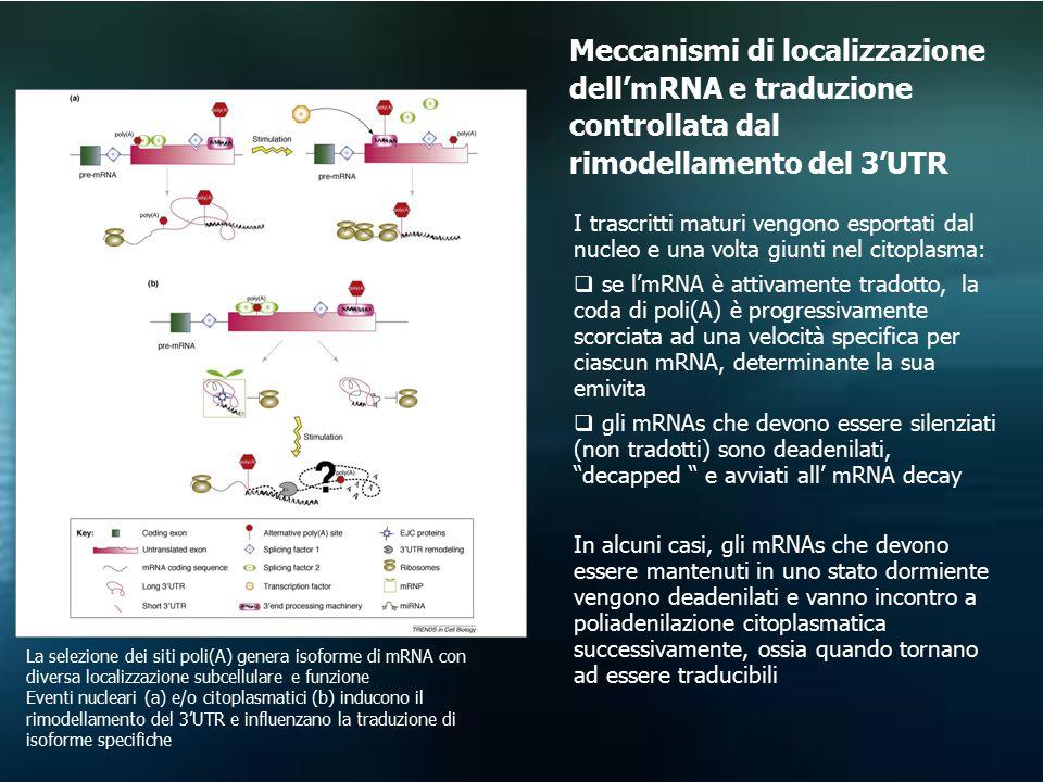 Meccanismi di localizzazione dell'mRNA e traduzione controllata dal rimodellamento del 3'UTR
