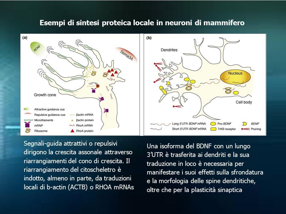 Esempi di sintesi proteica locale in neuroni di mammifero