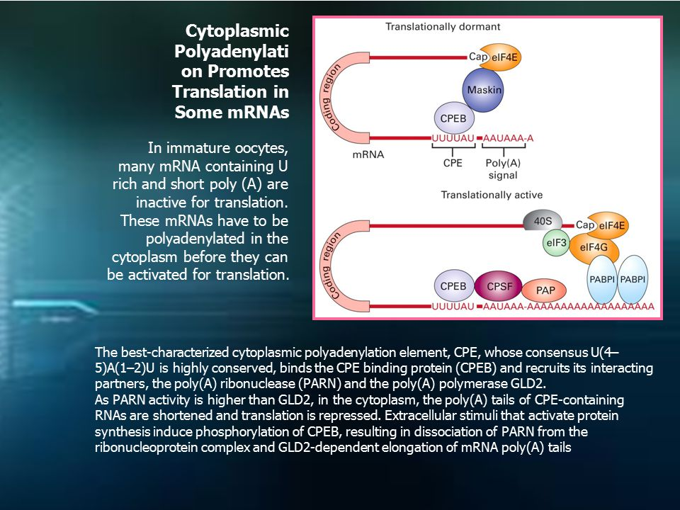 Cytoplasmic Polyadenylation Promotes Translation in Some mRNAs