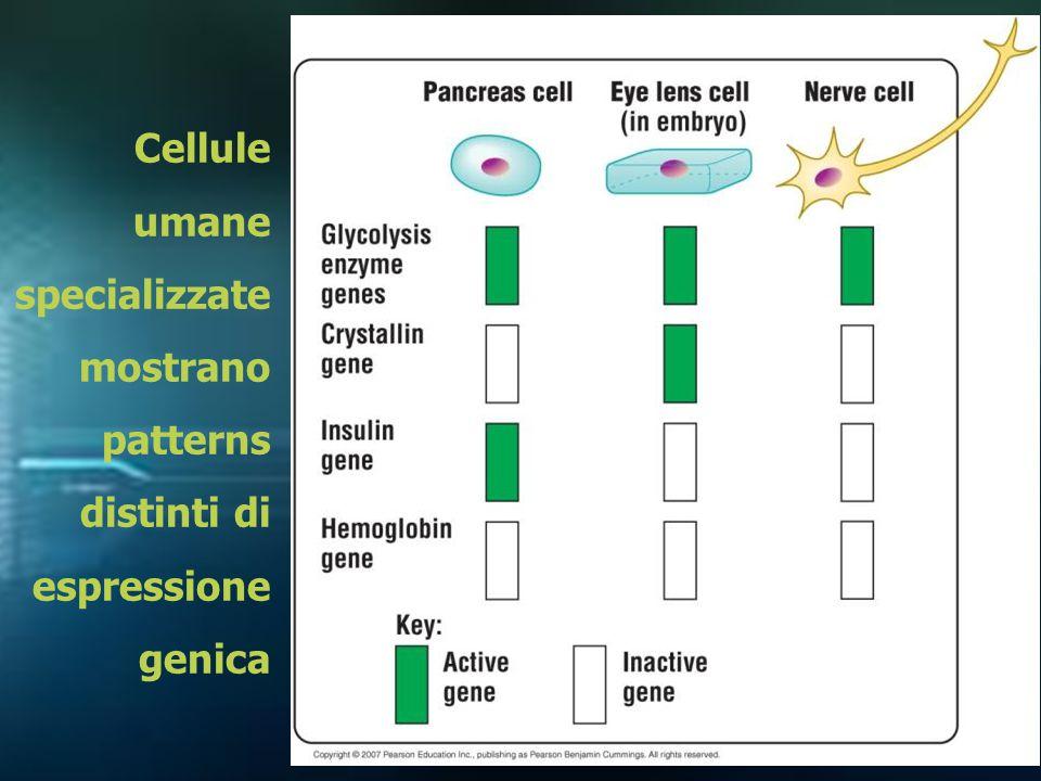 Cellule umane specializzate mostrano patterns distinti di espressione genica