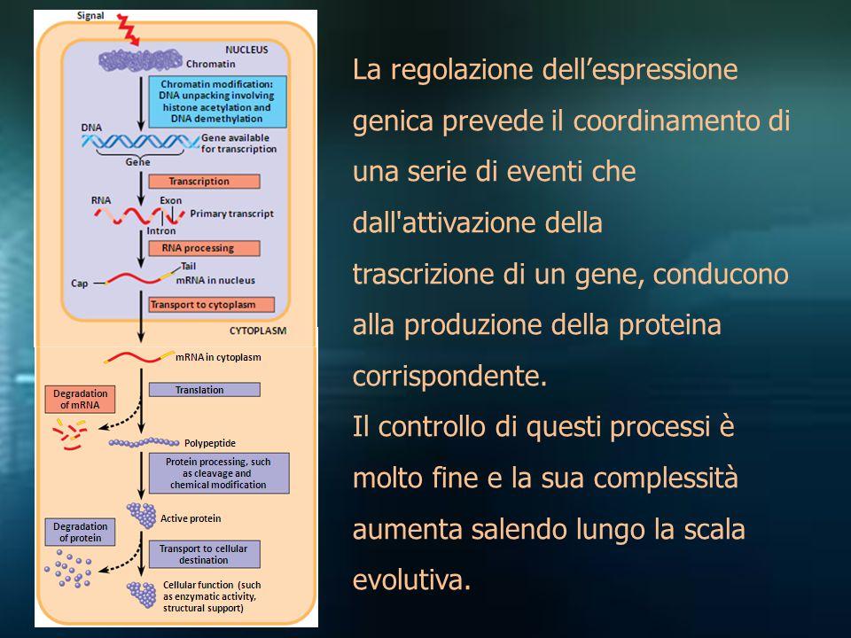 La regolazione dell'espressione genica prevede il coordinamento di una serie di eventi che dall attivazione della