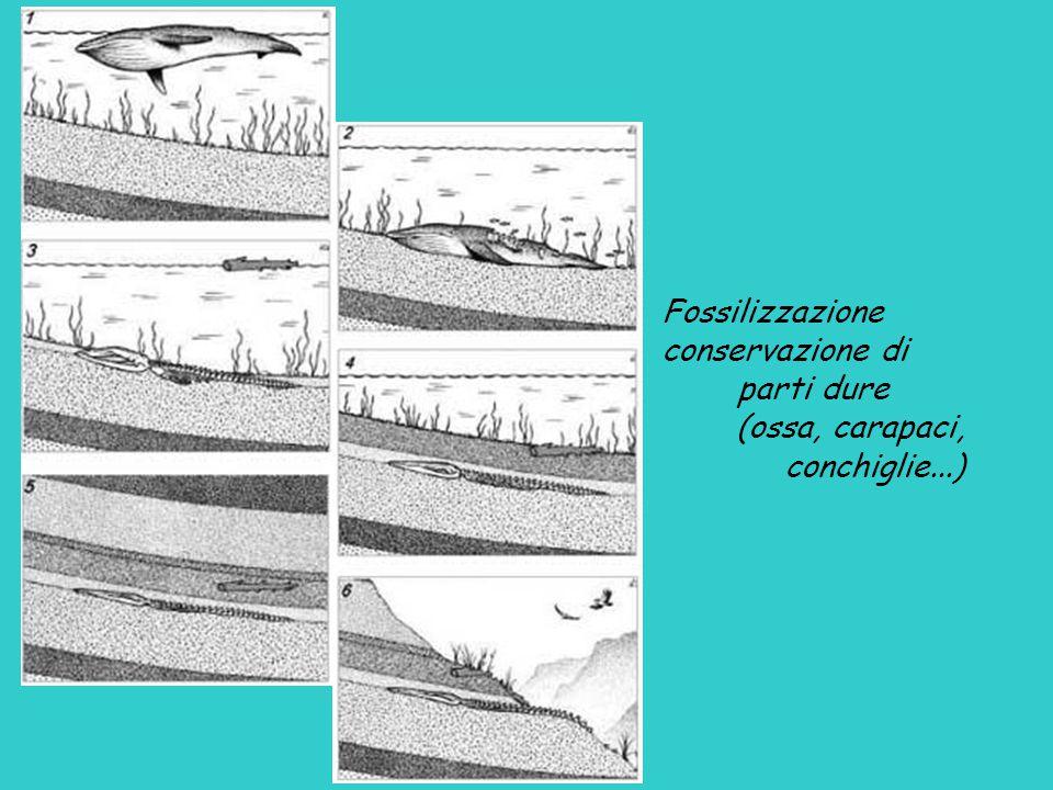 Fossilizzazione conservazione di parti dure (ossa, carapaci, conchiglie...)