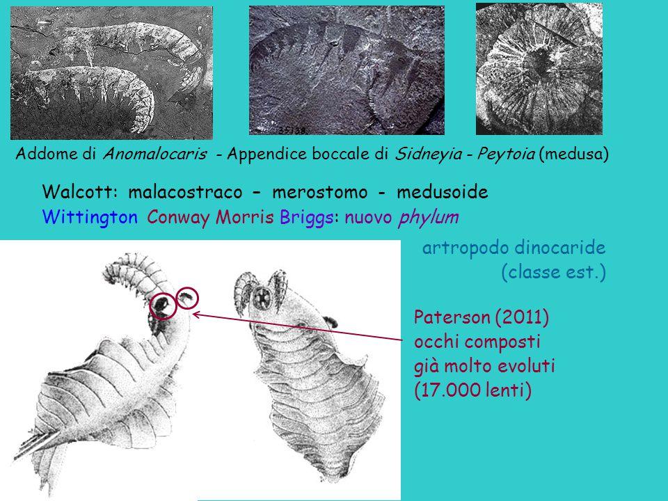 Walcott: malacostraco – merostomo - medusoide