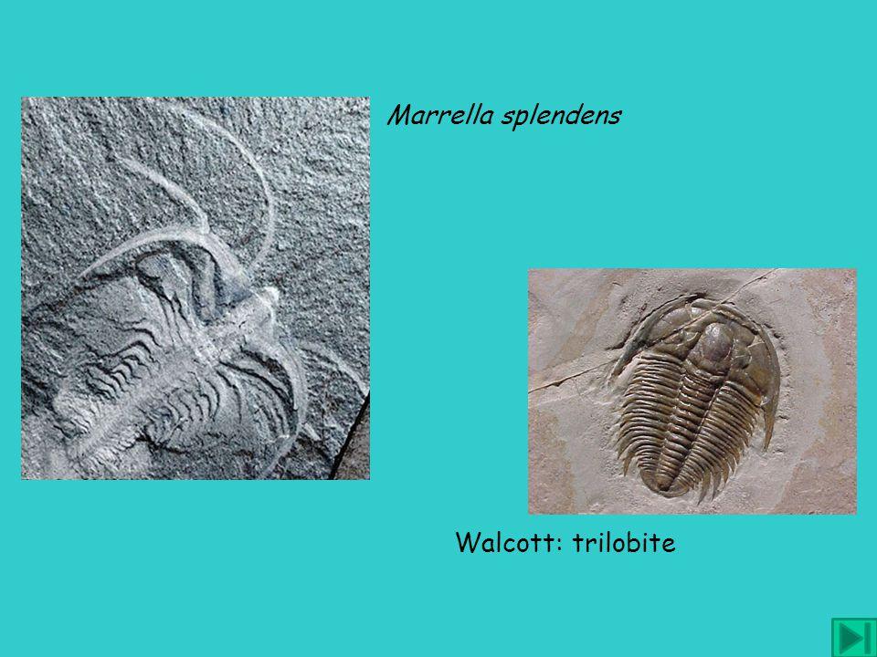 Marrella splendens Walcott: trilobite