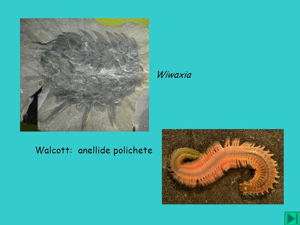 Wiwaxia Walcott: anellide polichete