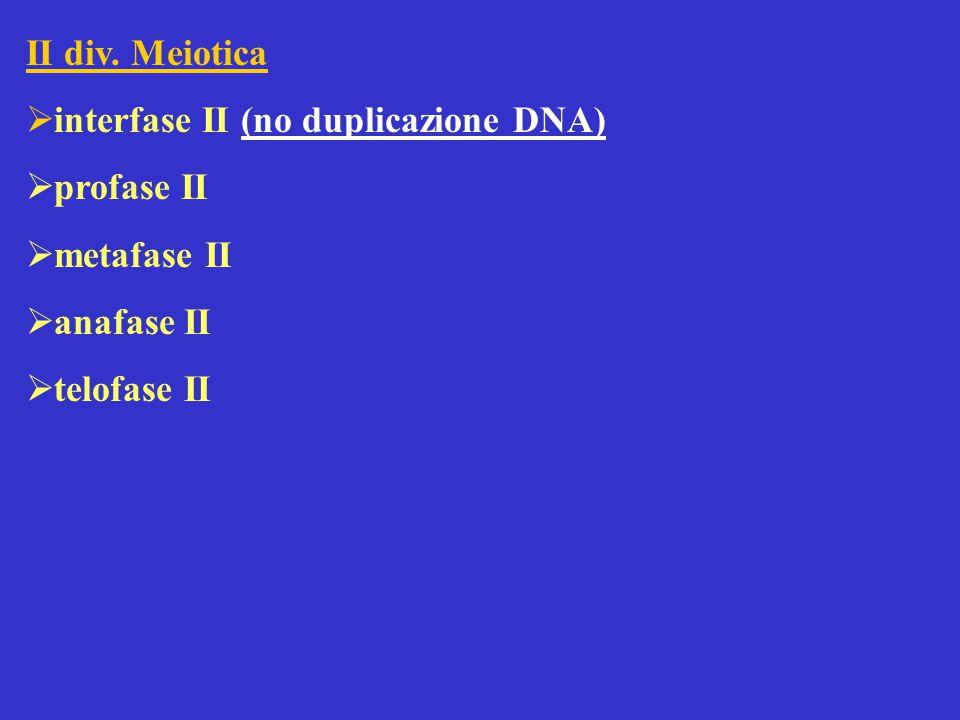 II div. Meiotica interfase II (no duplicazione DNA) profase II metafase II anafase II telofase II