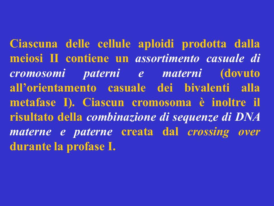 Ciascuna delle cellule aploidi prodotta dalla meiosi II contiene un assortimento casuale di cromosomi paterni e materni (dovuto all'orientamento casuale dei bivalenti alla metafase I).