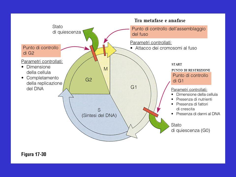 Tra metafase e anafase START PUNTO DI RESTRIZIONE