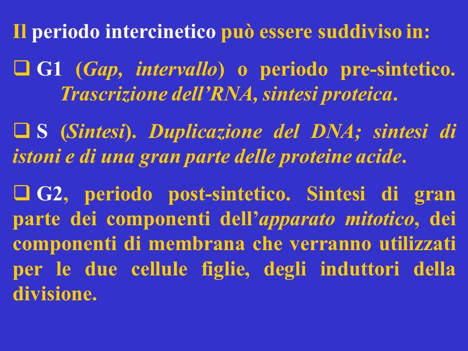 Il periodo intercinetico può essere suddiviso in: