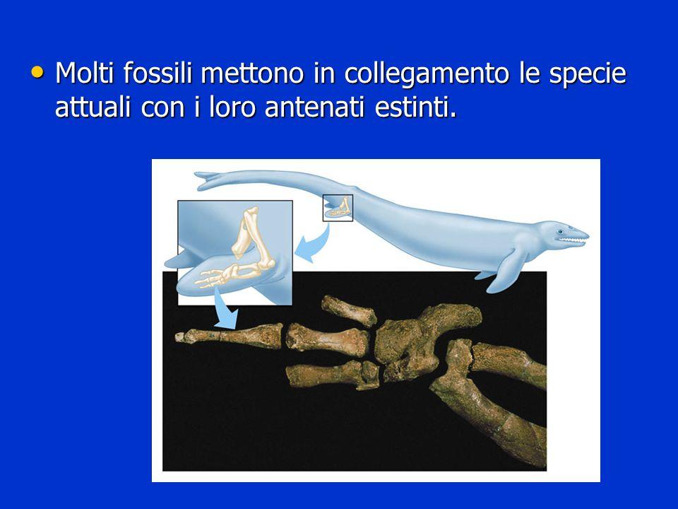 Molti fossili mettono in collegamento le specie attuali con i loro antenati estinti.
