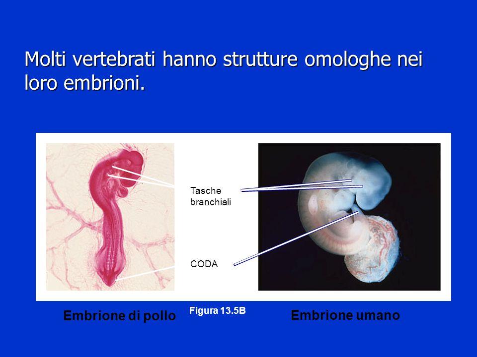 Molti vertebrati hanno strutture omologhe nei loro embrioni.