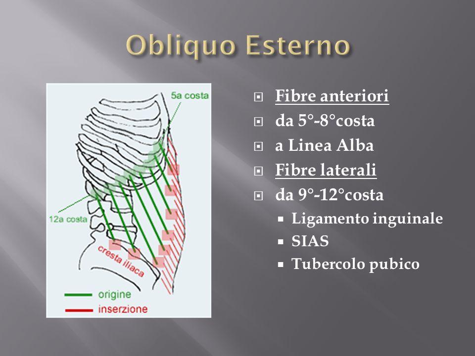 Obliquo Esterno Fibre anteriori da 5°-8°costa a Linea Alba