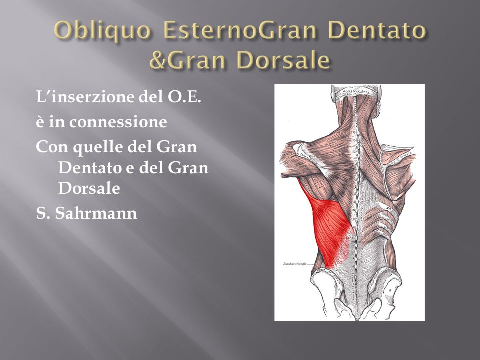Obliquo EsternoGran Dentato &Gran Dorsale