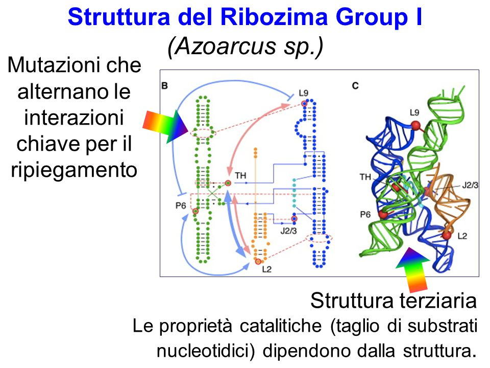 Struttura del Ribozima Group I