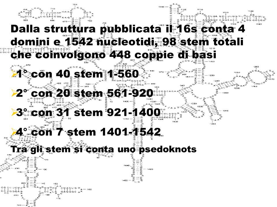Struttura del 16s Dalla struttura pubblicata il 16s conta 4 domini e 1542 nucleotidi, 98 stem totali che coinvolgono 448 coppie di basi.