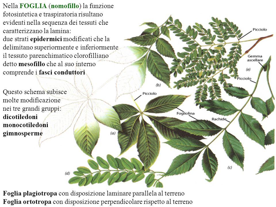 Nella FOGLIA (nomofillo) la funzione fotosintetica e traspiratoria risultano evidenti nella sequenza dei tessuti che caratterizzano la lamina:
