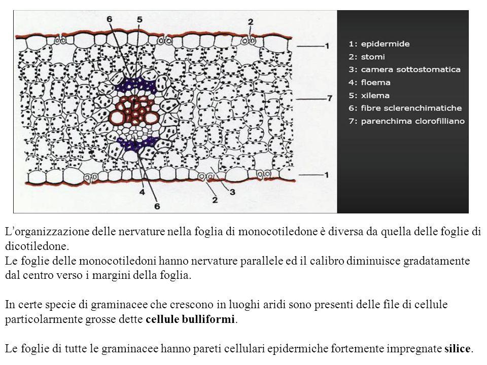 L'organizzazione delle nervature nella foglia di monocotiledone è diversa da quella delle foglie di dicotiledone.