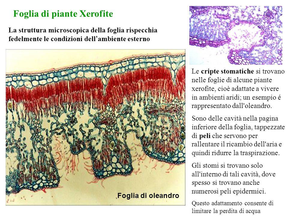 Foglia di piante Xerofite