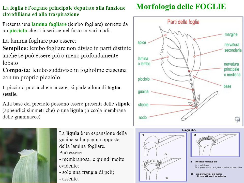 Morfologia delle FOGLIE