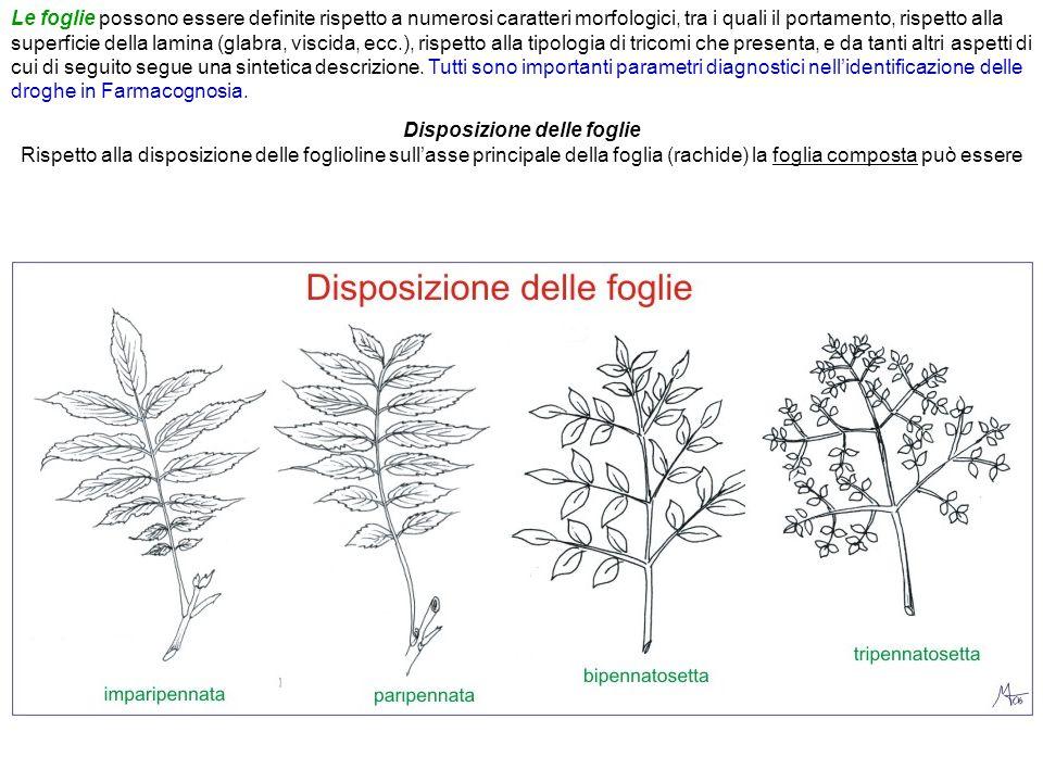 Disposizione delle foglie Rispetto alla disposizione delle foglioline sull'asse principale della foglia (rachide) la foglia composta può essere
