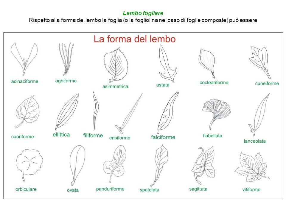 Lembo fogliare Rispetto alla forma del lembo la foglia (o la fogliolina nel caso di foglie composte) può essere