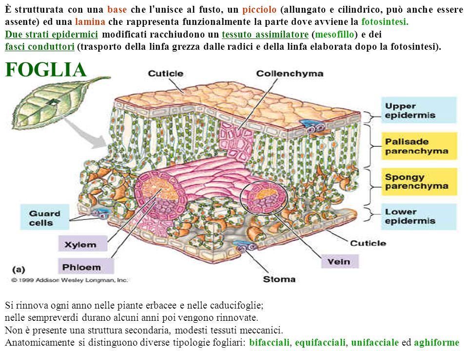 È strutturata con una base che l'unisce al fusto, un picciolo (allungato e cilindrico, può anche essere assente) ed una lamina che rappresenta funzionalmente la parte dove avviene la fotosintesi.