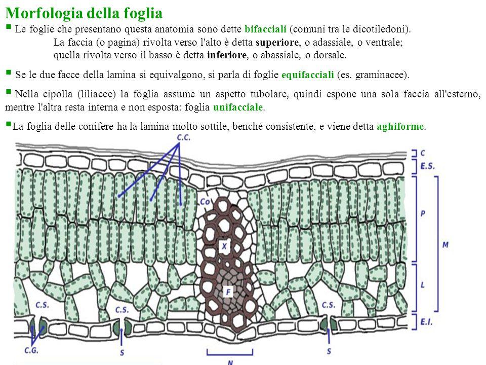 Morfologia della foglia