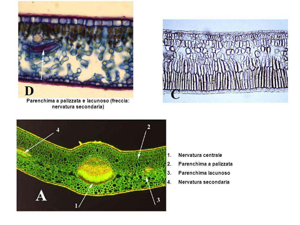 Parenchima a palizzata e lacunoso (freccia: nervatura secondaria)