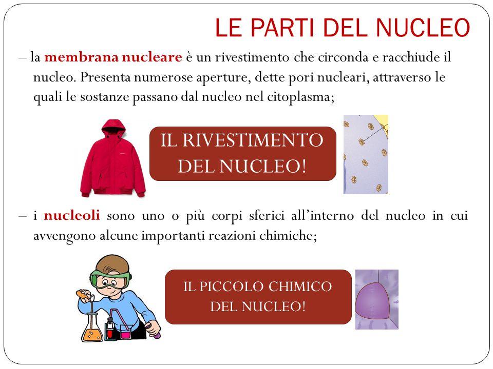 LE PARTI DEL NUCLEO IL RIVESTIMENTO DEL NUCLEO!