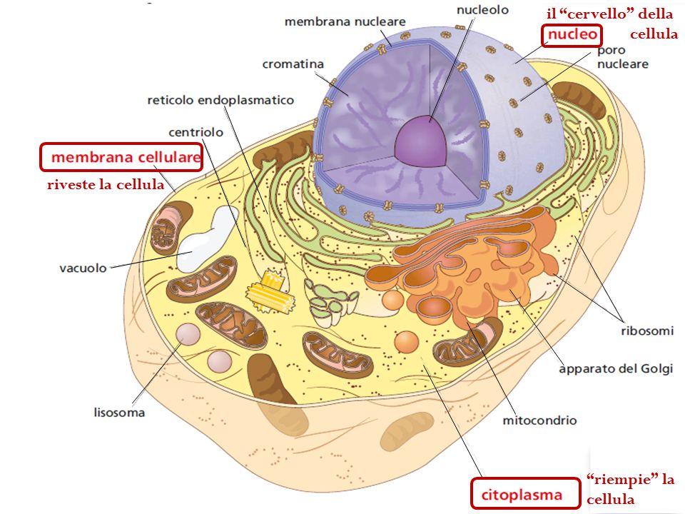 il cervello della cellula riveste la cellula riempie la cellula