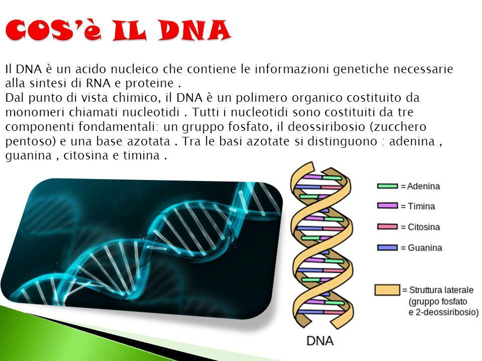 COS'è IL DNA Il DNA è un acido nucleico che contiene le informazioni genetiche necessarie alla sintesi di RNA e proteine .
