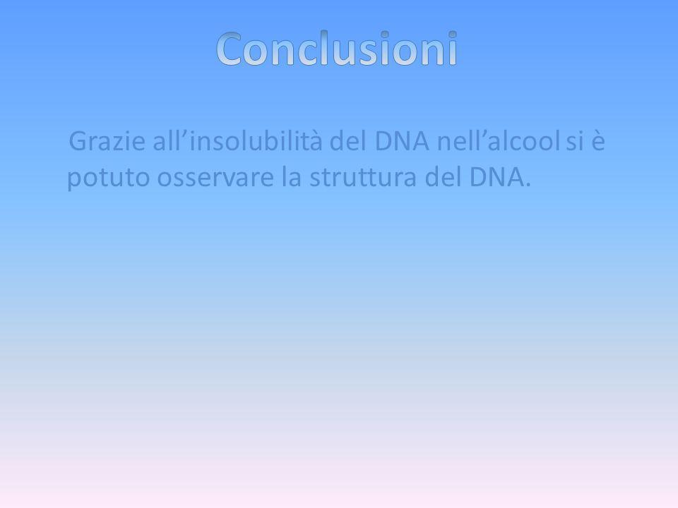 Conclusioni Grazie all'insolubilità del DNA nell'alcool si è potuto osservare la struttura del DNA.