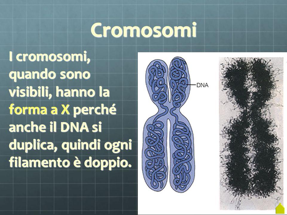 Cromosomi I cromosomi, quando sono visibili, hanno la forma a X perché anche il DNA si duplica, quindi ogni filamento è doppio.