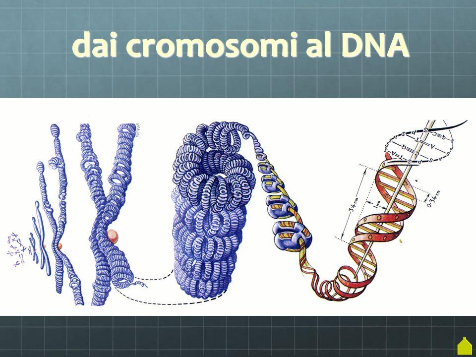 dai cromosomi al DNA