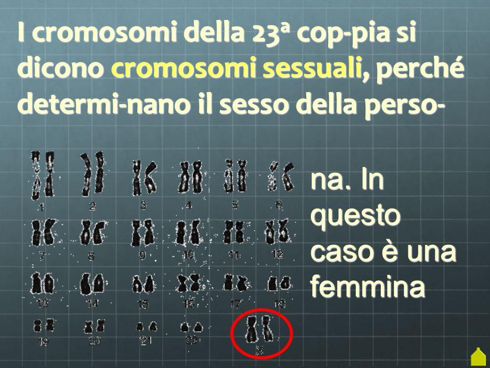 I cromosomi della 23a cop-pia si dicono cromosomi sessuali, perché determi-nano il sesso della perso-