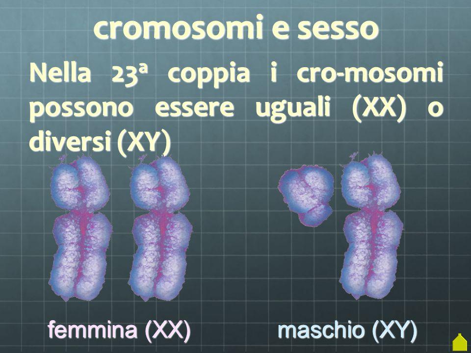 cromosomi e sesso Nella 23a coppia i cro-mosomi possono essere uguali (XX) o diversi (XY) femmina (XX)
