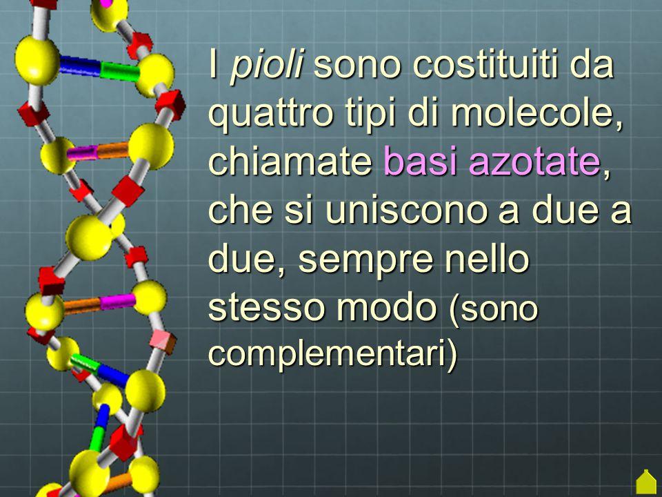 I pioli sono costituiti da quattro tipi di molecole, chiamate basi azotate, che si uniscono a due a due, sempre nello stesso modo (sono complementari)