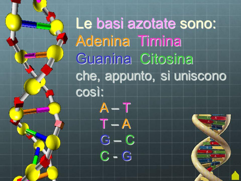 Le basi azotate sono: Adenina Timina Guanina Citosina