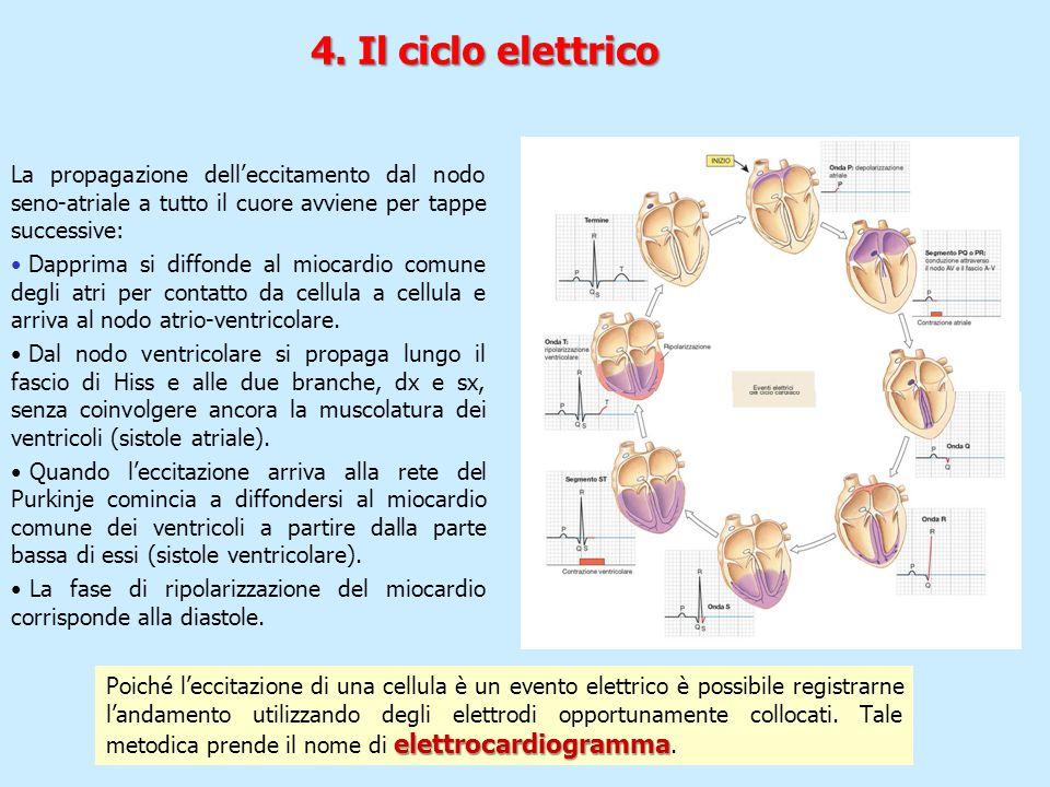 4. Il ciclo elettrico La propagazione dell'eccitamento dal nodo seno-atriale a tutto il cuore avviene per tappe successive: