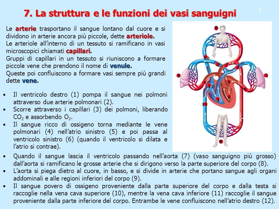 7. La struttura e le funzioni dei vasi sanguigni