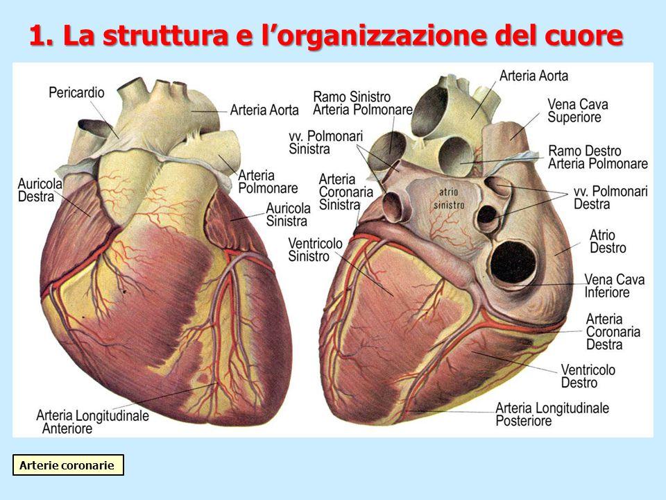 1. La struttura e l'organizzazione del cuore