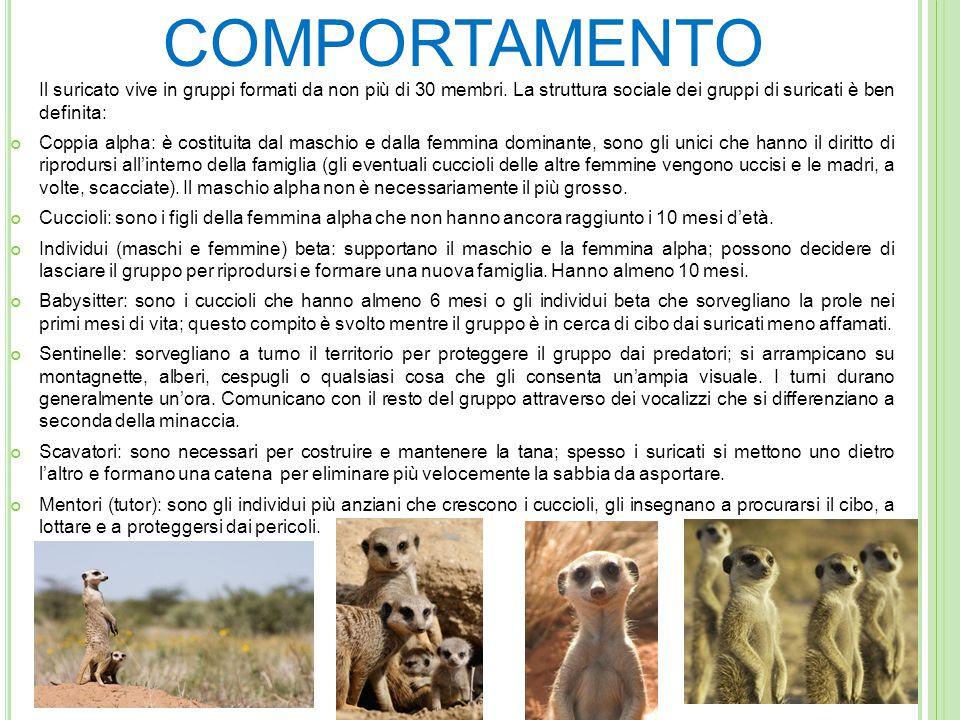 COMPORTAMENTO Il suricato vive in gruppi formati da non più di 30 membri. La struttura sociale dei gruppi di suricati è ben definita: