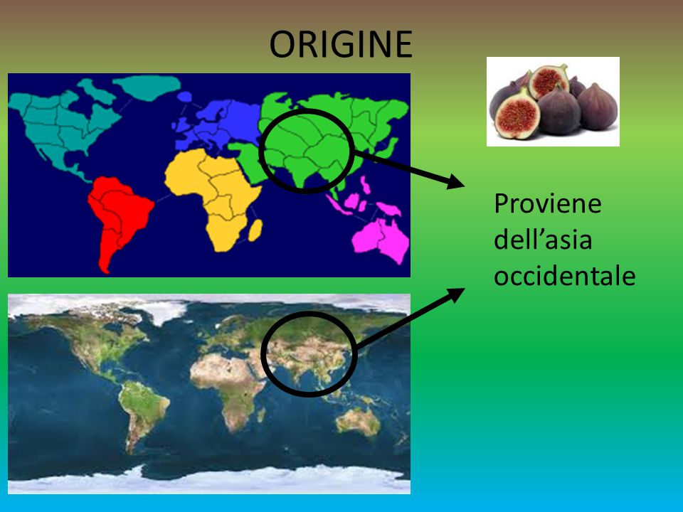 ORIGINE Proviene dell'asia occidentale